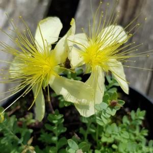 Hypericum olympicum 'Citrium'