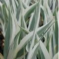 Iris pallida 'Argentea Variegata'