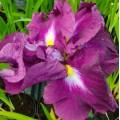 Iris ensata 'Eileen's Dream'