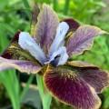 Iris sibirica 'Peacock Butterfly Black Joker'
