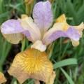 Iris sibirica 'Peacock Butterfly Ginger Twist'