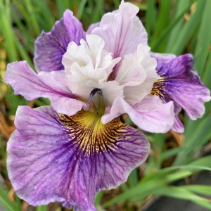 Iris sibirica 'Peacock Butterfly Mad Hat'