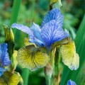 Iris sibirica 'Peacock Butterfly Tipped in Blue'