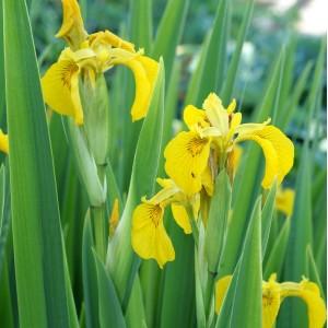 Iris pseudacorum 'Variegata'