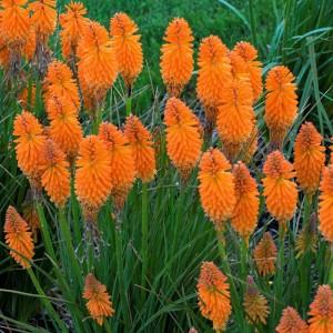 Kniphofia  'Pyromania Orange Blaze'