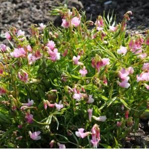 Lathyrus vernus 'Alboroseus'
