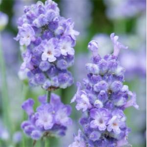 Lavender angustifolia 'BeeZee Light Blue'