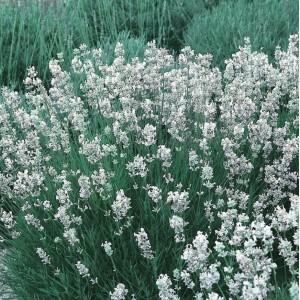 Lavender intermedia 'Edelweiss'