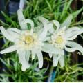 Leontopodium  'Blossom of Snow'