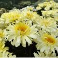 Leucanthemum  'Real Charmer'