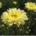 Leucanthemum  'Real Dream'