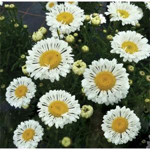 Leucanthemum  'Real Neat'