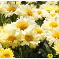 Leucanthemum  'Real Sunbeam'