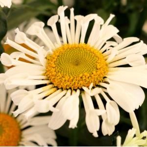 Leucanthemum  'Sweet Daisy Sofie'