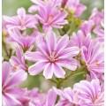 Lewisia  'Safira Pink'