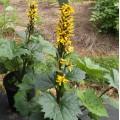 Ligularia stenocephala 'Bottle Rocket'