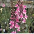 Linaria  'Pink Kisses'