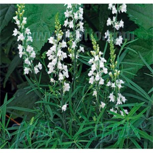 Linaria purpurea 'Springside White'
