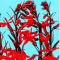 Lobelia cardinalis 'Bee's Flame'