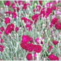 Lychnis coronaria 'Gardener's World'