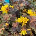 Lysimachia congestifolia 'Persian Chocolate'