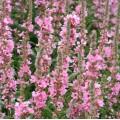 Lythrum salicaria 'Blush'
