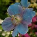 Meconopsis betonicifolia 'China Blue'