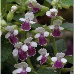 Melittis melisophyllum 'Royal Velvet Distinction'