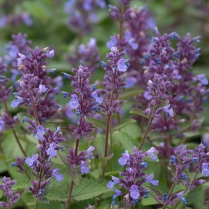 Nepeta  'Whispurr Blue'