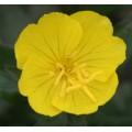 Oenothera  'Summer Sun'