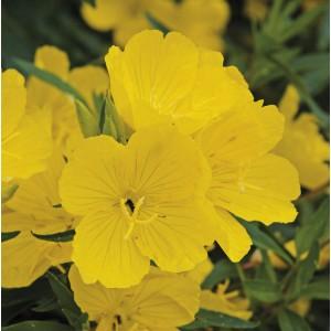 Oenothera  'Sunny Delight'