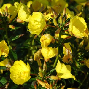 Oenothera fruticosa 'Yellow River'