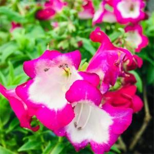 Penstemon  'Pentastic Rose'