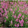 Penstemon  'Summertime Pink'