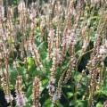 Persicaria amplexicaulis 'Alba Junior'