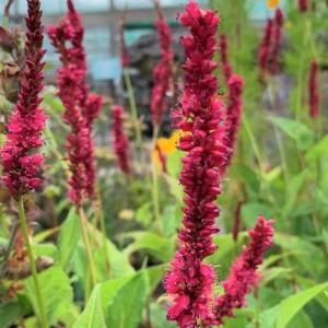 Persicaria amplexicaulis 'Amethyst Summer'