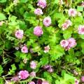 Persicaria runcinata 'Needhams' Variety'