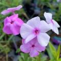 Phlox paniculata 'Fashionably Early Princess'