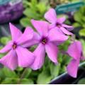 Phlox stolonifera 'Purpurea'