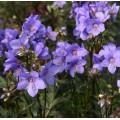 Polemonium brandegeei 'Bressingham Purple'