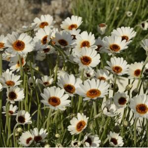 Rhodanthemum  'African Spring'