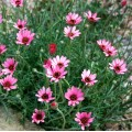 Rhodanthemum  'Pretty in Pink'