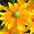 Rudbeckia SmileyZ 'Lemon'