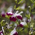 Salvia greggii 'Amethyst Lips'