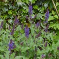 Salvia nemorosa 'Bazuin Dark Night'