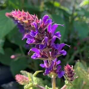 Salvia nemorosa 'Blue By You'