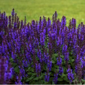 Salvia nemorosa 'Bumble Blue'
