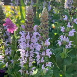 Salvia nemorosa 'Bumble Sky'