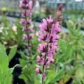 Salvia nemorosa 'Caradonna Pink Inspiration'