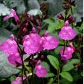 Salvia  'Cool Pink'